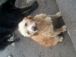 Flamme, chien Griffon fauve de Bretagne