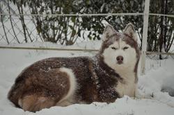 Flamme, chien Husky sibérien