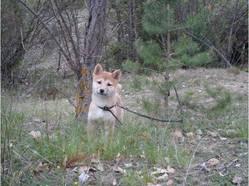 Flamme, chien Shiba Inu