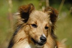 Flamme, chien Berger des Shetland
