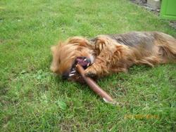 Flanelle, chien Yorkshire Terrier