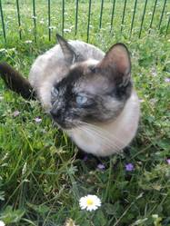 Flanelle, chat Siamois