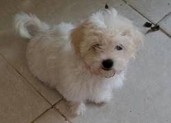 Flanelle, chien Shih Tzu