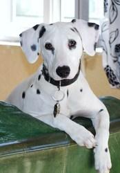 Flanelle, chien Dalmatien