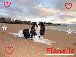 Flanelle, chien Cavalier King Charles Spaniel