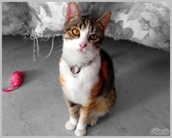 Flanelle, chat Européen