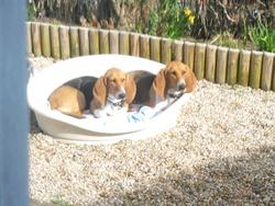 Flanelle Et Friska, chien Basset artésien normand