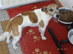 Flannelle, chien Jack Russell Terrier