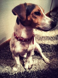 Flap, chien Jack Russell Terrier