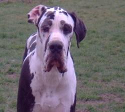 Flasch Du Domaine De L' Ostrevent, chien Dogue allemand