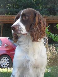 Flash, chien Épagneul français