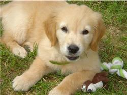 Flash, chien Golden Retriever