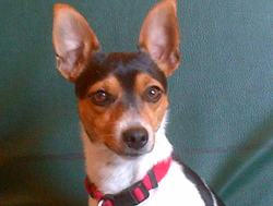 Flash, chien Jack Russell Terrier
