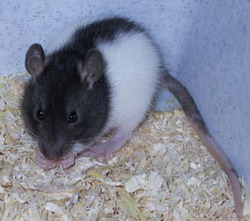 Flash, rongeur Rat