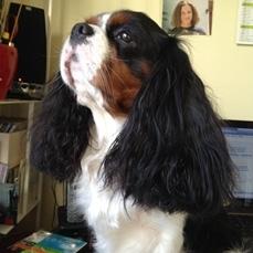 Flash, chien Cavalier King Charles Spaniel
