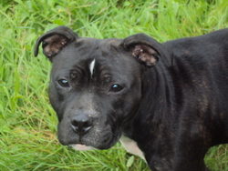 Flash, chien Staffordshire Bull Terrier