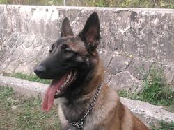Flash, chien Berger belge