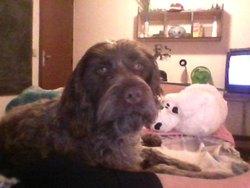Flash, chien Griffon à poil dur Korthals