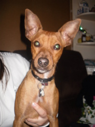 Flash, chien Pinscher