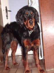 Flash, chien Setter Gordon
