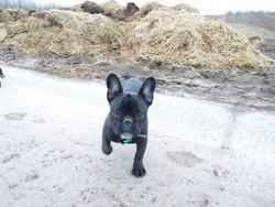 Flash, chien Bouledogue français