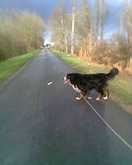 Flash, chien Bouvier bernois