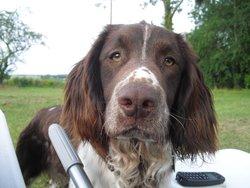 Flash, chien Springer anglais