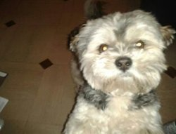 Flash, chien Lhassa Apso