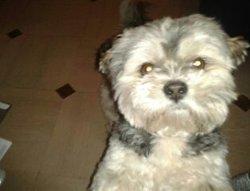 Flash, chien Lhassa Apso