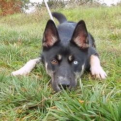 Flash, chien Husky sibérien