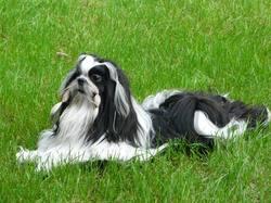 Flash Back De La Vallée De Frigolet, chien Shih Tzu