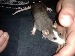 Flashouille, rongeur Rat