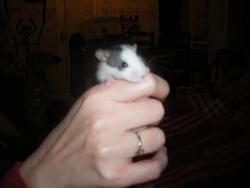 Flaurat, rongeur Rat