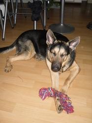 Flavia, chien Berger allemand