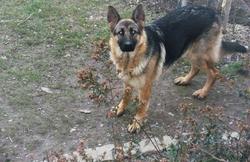Flavie, chien Berger allemand