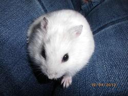 Flavie, rongeur Hamster