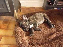 Flavio, chien Bouledogue français