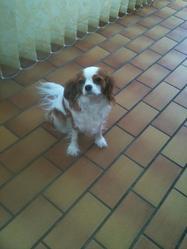 Flaya, chien Cavalier King Charles Spaniel