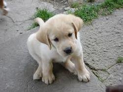 Flocon, chien Labrador Retriever