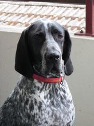 Flebo , chien Braque d'Auvergne