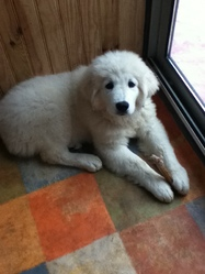 Flech, chien Berger polonais de Podhale
