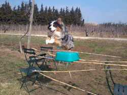 Flèche, chien Berger australien
