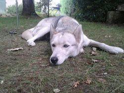 Flèche, chien Husky sibérien
