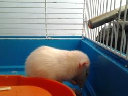 Flèche, rongeur Rat