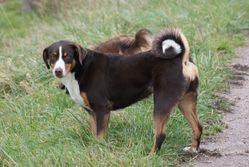 Flemme'Hard, chien Bouvier d'Appenzell