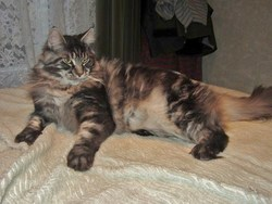 Flemming, chat Maine Coon