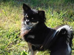 Fletcher, chien Chihuahua