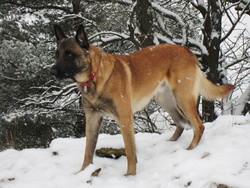 Fletcher, chien Berger belge