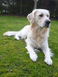 Fletcher, chien Golden Retriever