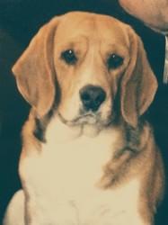 Fleur, chien Beagle